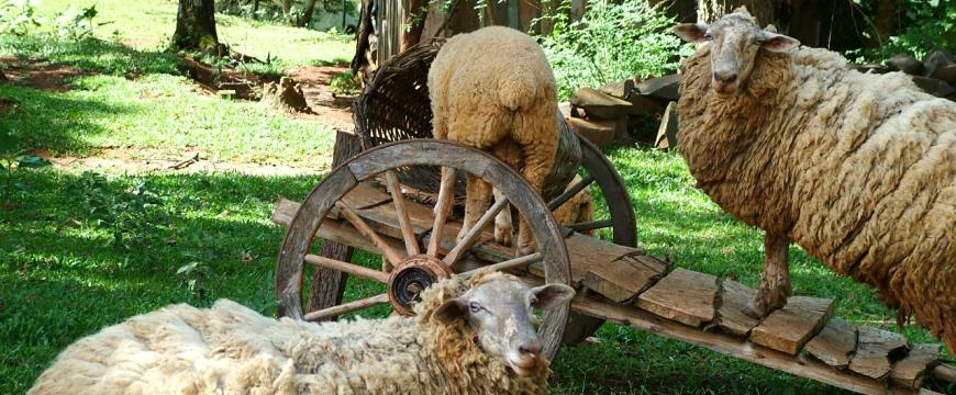 Sheep around a wooden cart - Photo by Dan Jaeger